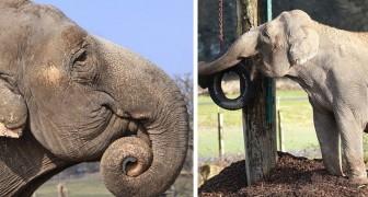 Da 20 anni questa elefantessa non vede un suo simile: ormai penserà di essere rimasta sola sulla Terra