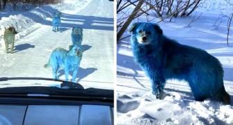 Avvistato in Russia un branco di cani con la pelliccia blu: probabile contaminazione da rifiuti chimici