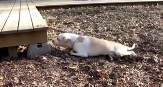 Una mujer encuentra un perro paralizado pero decide de intentar un trabajo IMPOSIBLE