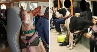 16 foto's van dieren in het openbaar vervoer die veel beter opgevoed lijken dan veel mensen