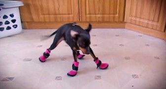 Here's the hilarious reactions of these dogs wearing swon boots for the first time !