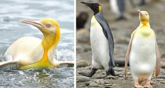 Un fotografo riesce a immortalare un rarissimo pinguino dal piumaggio giallo brillante mai visto prima