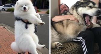 16 cani ingombranti che non accettano di essere cresciuti e continuano a comportarsi come dei cuccioli