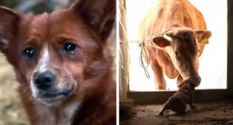 Un cane piange quando rivede la sua amica mucca: una tenera amicizia degna di una fiaba