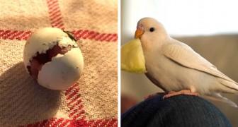 Un uomo trova un minuscolo uovo e decide di covarlo fino alla nascita di un delizioso parrocchetto