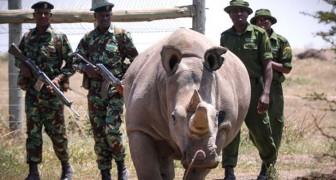 Gli ultimi 2 rinoceronti bianchi del Nord rimasti al mondo hanno una vera squadra di guardie del corpo