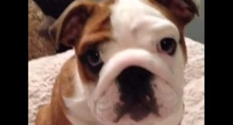 This bulldog receives a bed as a gift and it looks like he's loving it. ADORABLE