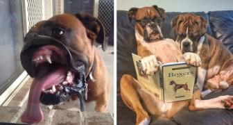 15 foto's laten ons zien hoe grappig en op een schattige manier onhandig Boxers kunnen zijn