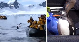Un pingouin poursuivi par des orques se sauve en sautant sur un bateau : la vidéo laisse sans voix