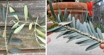 Domenica delle Palme: imparate a intrecciare facilmente i rametti di ulivo con questo metodo