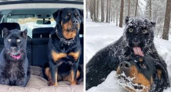 Una pantera abbandonata dalla mamma cresce insieme ad un Rottweiler: sono inseparabili