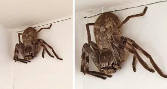 Une femme entre dans la douche et est terrorisée par une énorme araignée chasseuse qui l'attendait