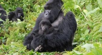I gorilla di montagna adottano i cuccioli abbandonati dalle mamme: lo afferma una ricerca