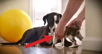 At first, the dog's not too sure about his new friend, but he soon changes his mind !