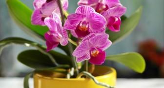 Le dritte giuste per innaffiare le orchidee e assicurarsi fiori spettacolari