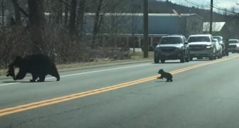 Une maman ours tente de traverser la route avec ses oursons rebelles et les voitures attendent patiemment