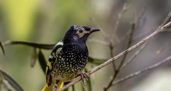 Uno degli uccelli più rari al mondo è a rischio estinzione: non sa più cantare le melodie della sua specie