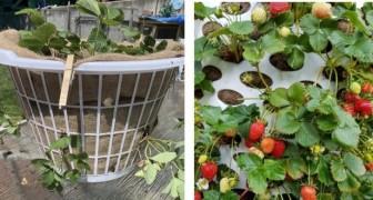 Ami le fragole? Ti spieghiamo come coltivarle in un cesto per il bucato