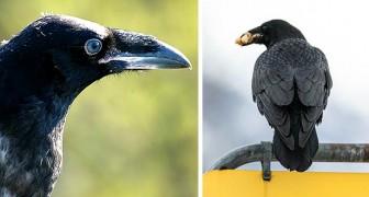 Una banda di corvi continua a rubare carni di prima scelta ai clienti di un supermercato