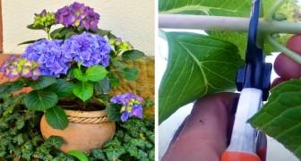 Hortensia, en växt med scenografiska färger - hur du odlar den i kruka och förörkar den med hjälp av några enkla tips