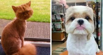 Extravagante Frisuren: 15 Tiere, die mit ihrem neuen Look gar nicht glücklich zu sein scheinen