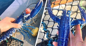Ein Fischer findet einen seltenen blauen Hummer und beschließt, ihn wieder ins Meer zu setzen: Ich hätte ihn nie gegessen