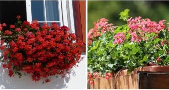 Gerani super-rigogliosi? Qualche dritta utile per coltivare fiori belli e tutti da sfoggiare