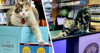 Gatti tra gli scaffali: 15 felini che si sono stabiliti nei negozi e non hanno intenzione di andarsene