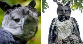 A harpia: um pássaro tão grande que parece uma pessoa com uma fantasia engraçada
