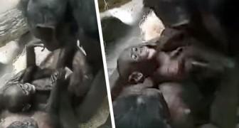 Nonna bonobo gioca con la nipotina: il sorriso della piccola ci ricorda quanto sono simili a noi