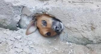 En nyfiken hund fastnar i ett hål i muren medan den spionerade på grannarna - räddad av brandkåren