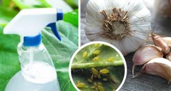 Scopri come usare l'aglio e altri ingredienti naturali contro insetti e afidi in casa o in giardino