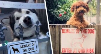 Beware of the dog. Enter at your own risk: 15 dogs that wouldn't actually hurt a fly