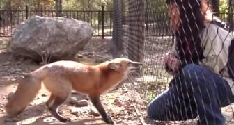 Kijk hoe een vos reageert als hij een vriendje ziet. Aandoenlijk.