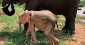 Elefantina albina viene salvata da una trappola dei bracconieri: si riprende contro ogni aspettativa