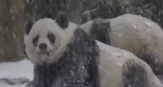 So freuen sich diese Pandas über den ersten Schnee. Süß!