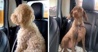 Va dal toelettatore per riprendere i cani ma quando li vede pensa che siano quelli sbagliati