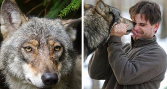 He saved a wolf from a trap and feeds its cubs: years later, the animal returns to visit him