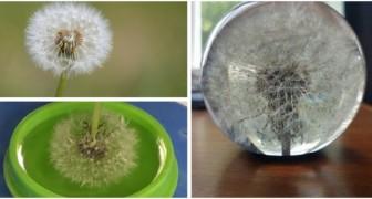 Un desiderio immortalato: scopri come conservare per sempre un fiore di tarassaco