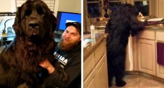 Är det en björn eller en hund? 21 newfoundlandhundar som inte är medvetna om sin storlek