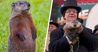 Nos Estados Unidos existe uma marmota que pode prever quando chegará a primavera