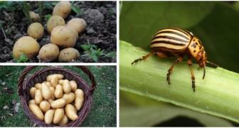 Insetti sulle patate: scopri come riconoscerli e allontanarli