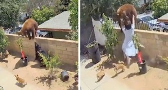 A girl pushes a bear off a wall to save her dogs' lives: an act of great heroism