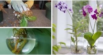 Orchidées dans de l'eau ? Essayez de les cultiver ainsi avec ces conseils utiles