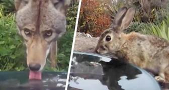 Ela coloca uma câmera perto de uma tigela de água e captura todos os animais que a visitam