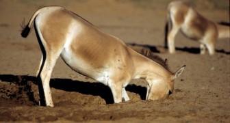 Forscher finden heraus, dass Esel und Pferde in der Wüste Löcher graben, die für andere Arten lebenswichtig sind
