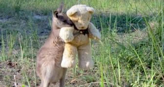 Um canguru que ficou órfão abraça um ursinho de pelúcia com força: assim ele se sente menos sozinho