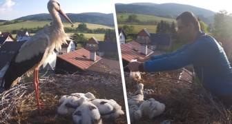 Un'intera cittadina aiuta un papà cicogna rimasto solo a nutrire i propri piccoli