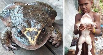 Un homme a trouvé cette grenouille gigantesque : Elle est presque aussi grosse qu'un enfant