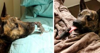 La straordinaria amicizia tra un cane e un topolino domestico: due cuccioli inseparabili